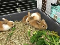 Brown and white baby rabbits