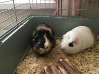 Two Guinea Pigs with cage