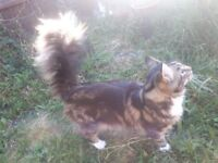 Main coon young boy for sale