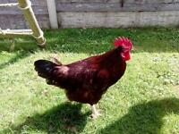 Free to good home cockerel a year old