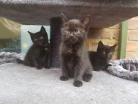 Half Ragdoll kitten ready now