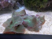 MARINE LIVE CORAL GREEN BUMPY MUHROOMS ON LIVE ROCK WYSIWYG