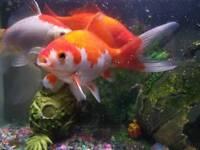 4 KOI FISH FOR big TANK OR POND