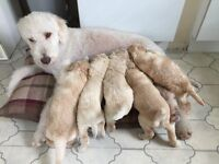 Beautiful multigeneration Labradoodles