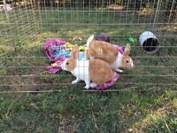 Two young tan and white Dutch rabbits free