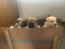 German shepherd x Mali puppies