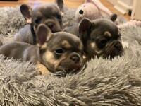 Micro Lilac and Tan French Bulldog Puppies 🐶