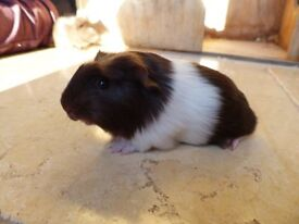 Beautiful Baby Guinea Pigs Ready To Go!