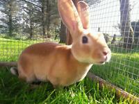 Last gorgeous minirex rabbit