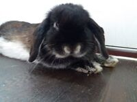 I HAVE 4 RABBITS FOR SALE 40 EACH. 3 BOYS NUMBER 3 IS GIRL.MASSAGE ME FOR MORE INFO