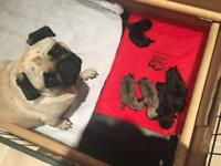 KC Pug Puppies From Health Tested Parents