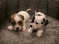 Shih Tzu Cross Dogs Puppies For Sale Gumtree