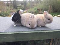 Dwarf Netherland Baby Rabbits