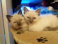 ragdoll kittens 3 male and 3 female