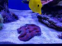 Corals - Marine Fish tank