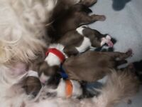 Imperial shih tzu puppies for sale