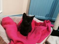 Lost short haired black cat named Thomas. He is micro chipped. Lost from Woodlands Ivybridge.