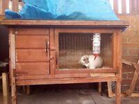 Male mini lop rabbit and hutch food hay and sawdust
