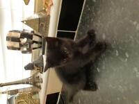 Black baby kittens , 2 male , 1 female