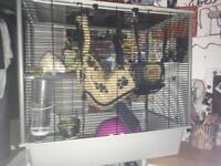 Rats and cage (male)