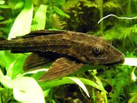 Large Fish Tank, 2 x Cat Fish, Pleco, Bog Wood, Fake Plants