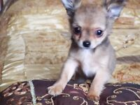 KC registered long coat chihuahua boys looking for their forever home.