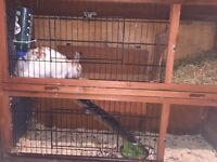 Male Rabbit 18 Months Old - With 2 Tier Hutch & Bedding