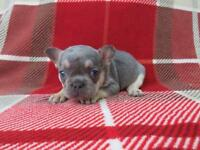 French bulldog pup ready to leave in just over two weeks