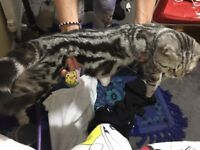 Beautiful 8 month BSH silver classic tabby