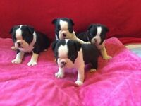 Four beautiful Boston terrier male puppies for sale