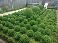 "Box ball plants approx 250-300mm (10-12"") high"