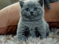 Blue Kittens For Sale : British blue cats kittens for sale gumtree