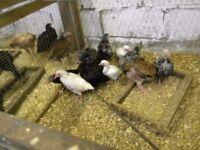 chickens ko shamo/ wyndotts