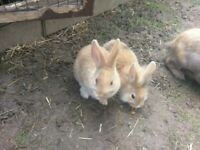 Baby lionhead bunnies and mummy reduced £20