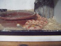 2 year old corn snake, with full set-up...£100.00 ONO