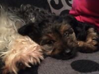 Yorkie terrier female pups 8 weeks old ready to go £300