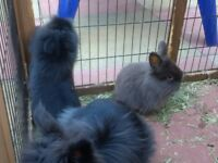 Baby rabbits available to reserve