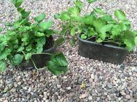 Campanula plant,hardy perineal.