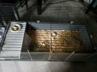 Male guinea pigs with large cage