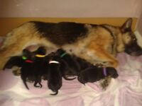 Straight back German Shepherd pups for sale