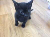 Kittens for sale Flea and worm treated