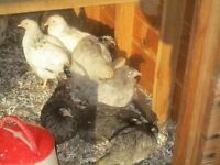 Light Sussex and Bluebelle pullets for sale