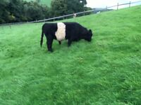 Bertie the belted Galloway bull