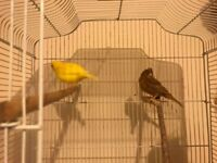 Green & Yellow Canaries for sale, Canaries for sale, Quick sale
