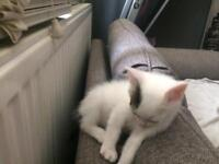 Only the white kitten available