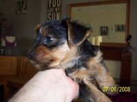 yorkshire terriers for sale one girl and one boy 10 week old