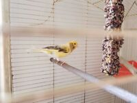 two canary birds with all equipment and food
