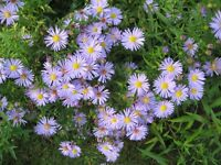 PERENNIAL ASTER MICHAELMAS DAISY PLANTS POTTED