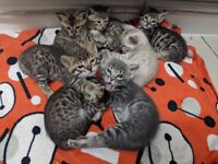 7 Bengal Kittens, READY TO LEAVE, 1 available