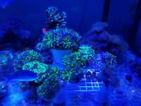 Corals for marine aquarium. Lps sps